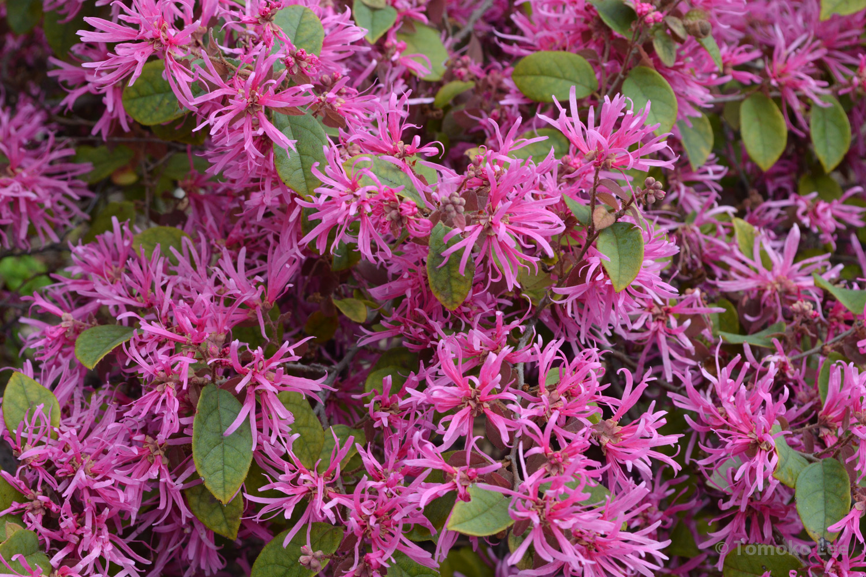 Fringe Flower Ivanandtomoko
