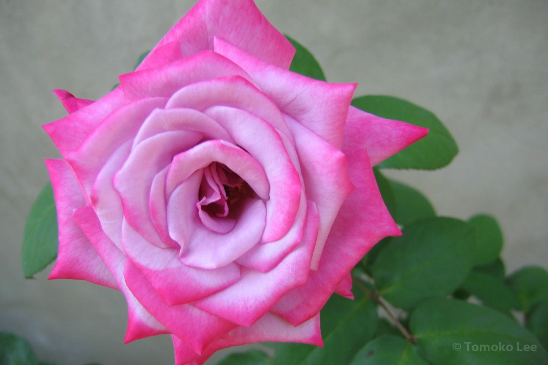 роза парадиз фото и описание первой